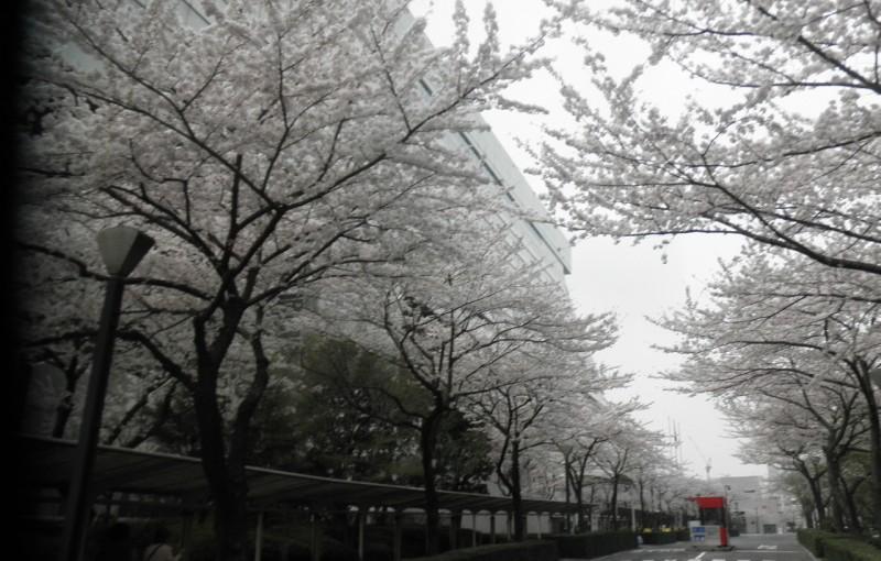 「両国の桜」