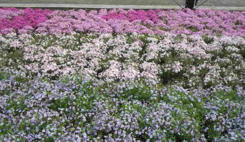 「春の花2」