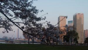豊洲の桜2