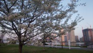豊洲の桜1